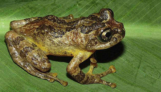 La rana de la especie Frankixalus jerdonii.