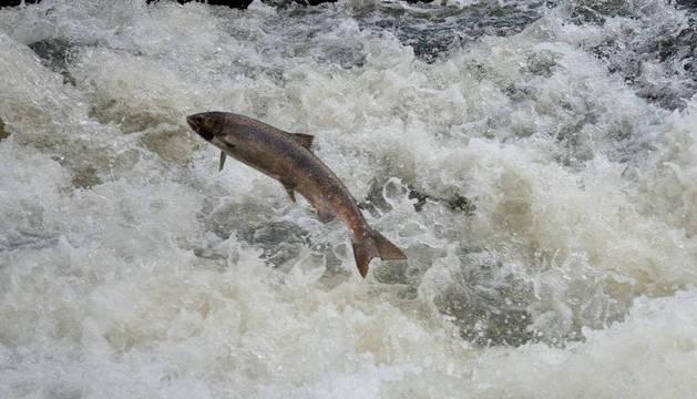 Un ejemplar de salmón salta en su supervivencia en su pugna contracorriente.