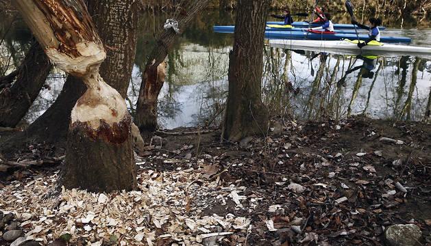 Daños en un árbol de la orilla del Arga.