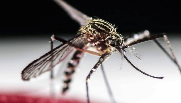 Fotografía del 30 de enero de 2016 del mosquito Aedes Aegypti en San José (Costa Rica).