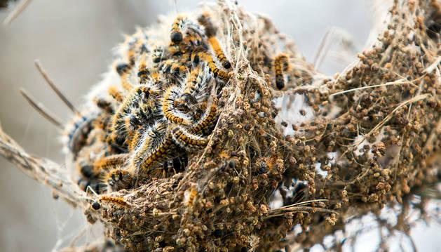 Una colonia de procesionarias en un brote de un pino en la zona de El Perdón, invadida por la plaga.