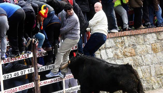 Encierro urbano del Carnaval del Toro de Ciudad Rodrigo, este sábado.