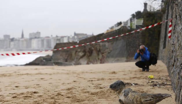Una foca descansa en el arenal de la playa de Ondarreta de San Sebastián.