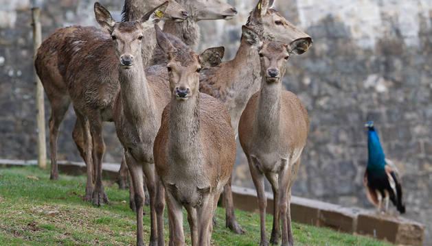 El futuro de los ciervos de la Taconera dependerá de una mesa de vecinos