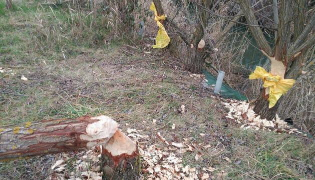 Imagen de los daños causados por los castores junto al río Salado.