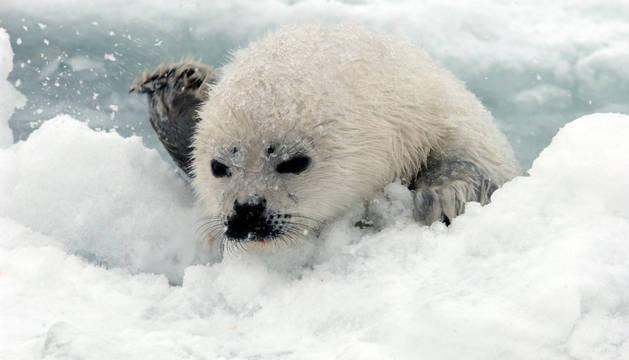 Las crías de las focas tienen más riesgo de morir porque la superficie helada se rompe y caen al agua.