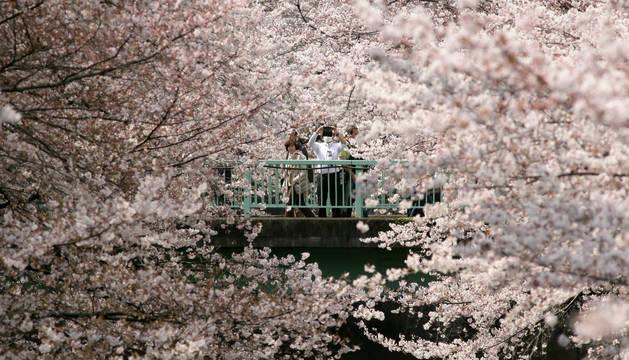 Cerezos en flor en un parque en Tokio (Japón)