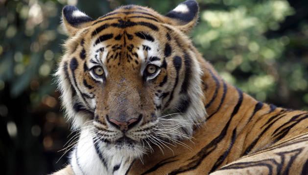 Un tigre descansa en su recinto del zoo Dusit en Bangkok (Tailandia).