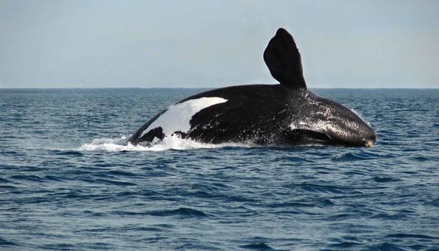 Las ballenas vascas, a un paso de la extinción