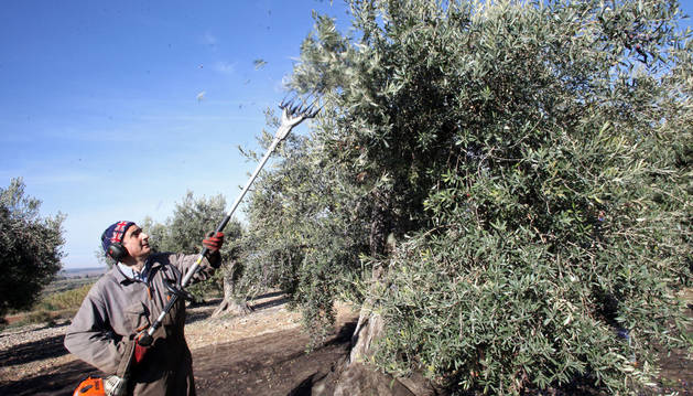Un olivarero hace caer los frutos de un árbol por medio de una máquina vibradora en un huerto de Barillas.