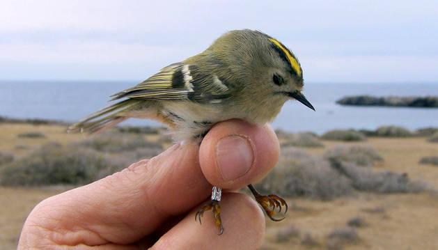 Un reyezuelo sencillo, una de las dos especies de pájaros anilladas por primera vez en la isla de Tabarca (Alicante).