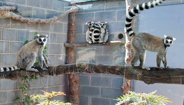 Siete Lémures se instalan en la Plaza de los exóticos de Sendaviva