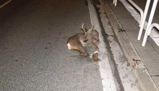 El corzo atropellado este sábado en Pamplona.
