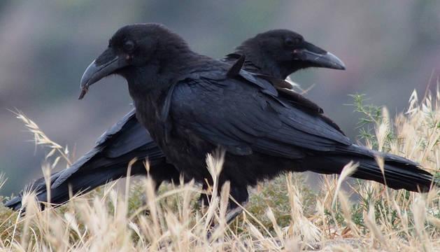 Una pareja de cuervos.