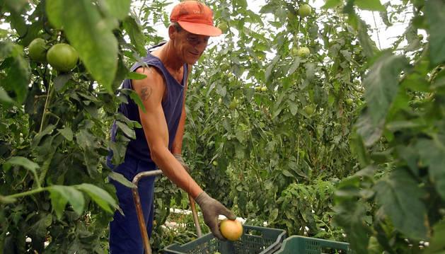 Un trabajador recoge tomates en el invernadero.