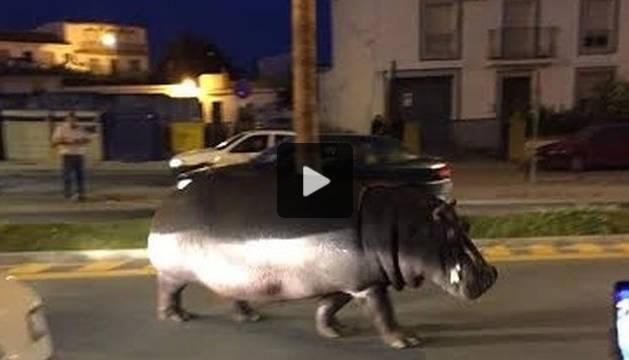 Un hipopótamo se pasea por calles de Palos de la Frontera tras escaparse del circo