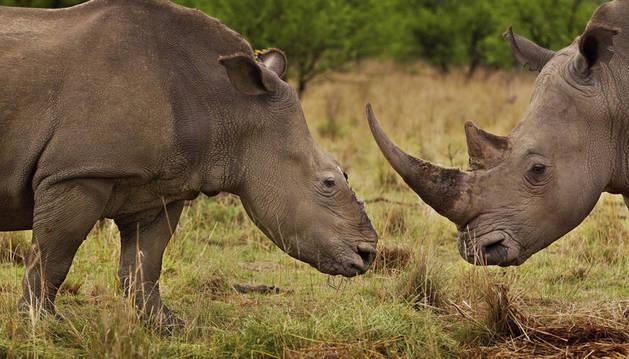 Baja un 26 por ciento el número de rinocerontes abatidos en Sudáfrica