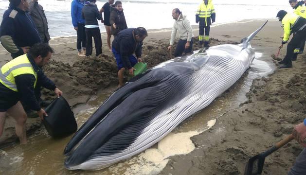 Muere una ballena varada tras 11 horas de hidratación e intentos por salir al mar