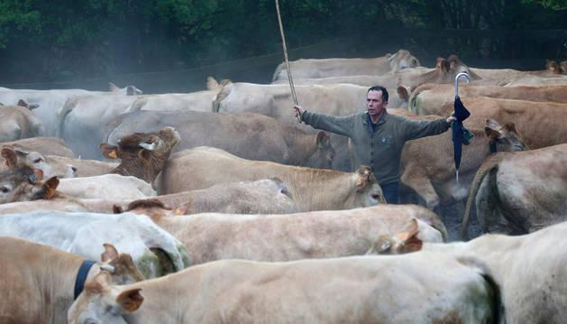 Un ganadero acerca a sus vacas hasta el lugar donde iban a ser marcadas, ayer en Sorogain.