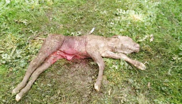 El ternero murió por un ataque de buitre durante el parto.