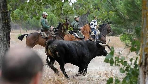 El último toro de la vega, Rompesuelas, seguido por los caballistas.