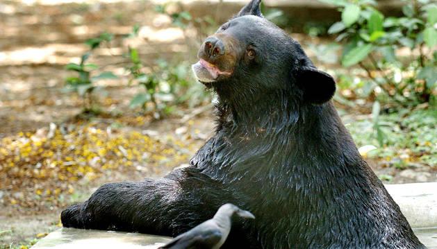 Mueren dos hombres atacados por osos en el norte de Japón