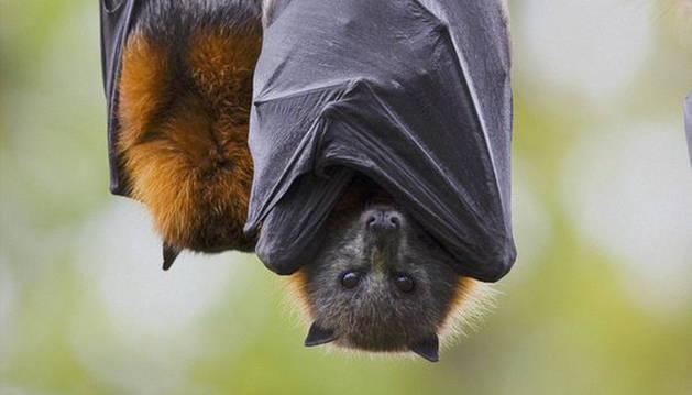 Decenas de miles de murciélagos toman una localidad australiana