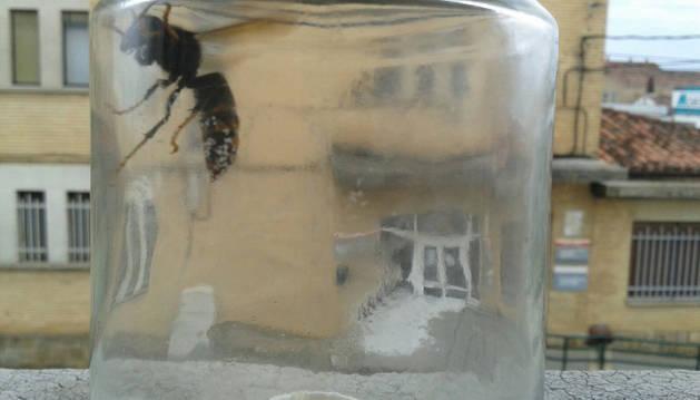 Capturada una reina de avispón asiático en un centro escolar de Tafalla