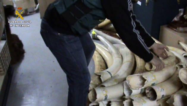 Descubren 74 colmillos de elefante africano en un chalet de Madrid