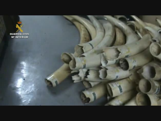 La Guardia Civil decomisa 74 colmillos de elefante africano