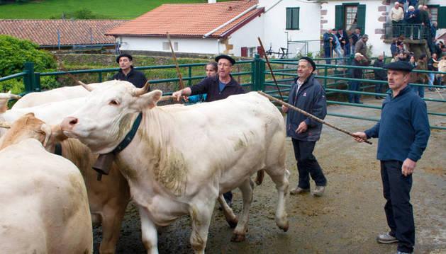 Un grupo de ganaderos empuja el ganado hacia la manga.