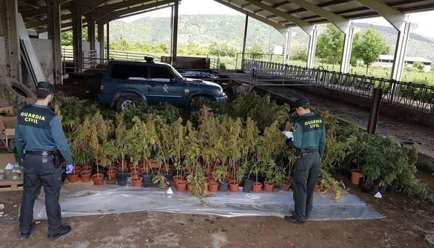 Desmantelada una plantación de marihuana en un invernadero de Basaburua