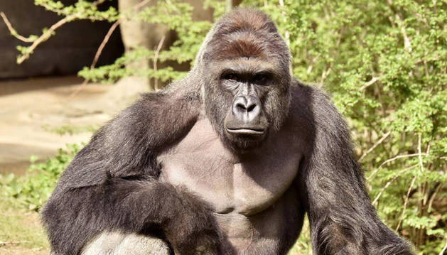 Matan a un gorila en un zoo de Cincinnati después de que un niño cayera al foso