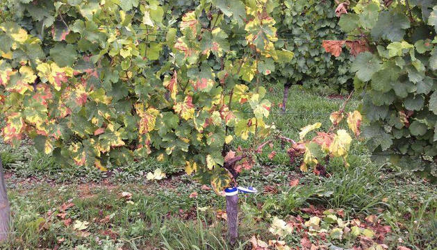 El 'cáncer' del viñedo afecta ya a cerca de 1.400 hectáreas en toda Navarra
