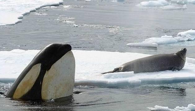 Una orca se prepara para cazar focas en el Ártico