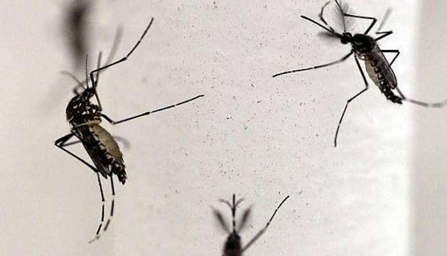 Mosquitos Aedes aegypti, transmisor del virus del zika.