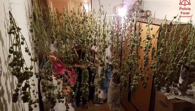 Cogollos de marihuana secándose en la vivienda.