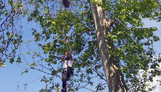 Demostración de trepa de árboles realizada este martes en la presentación del XV Campeonato nacional de Trepa de árboles que se celebrará este fin de semana en Pamplona.