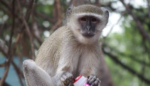 Imagen de un mono salvaje de Kenia.