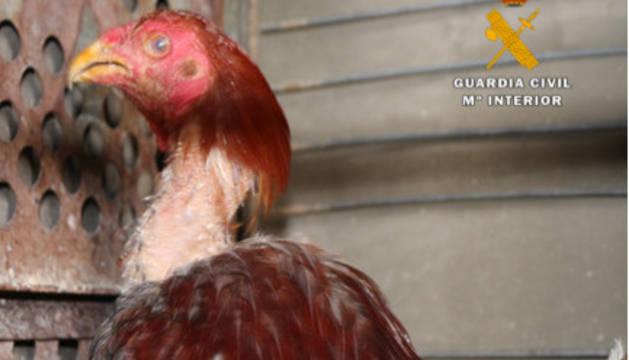 Uno de los gallos que se encontraba en la explotación en la Ribera.