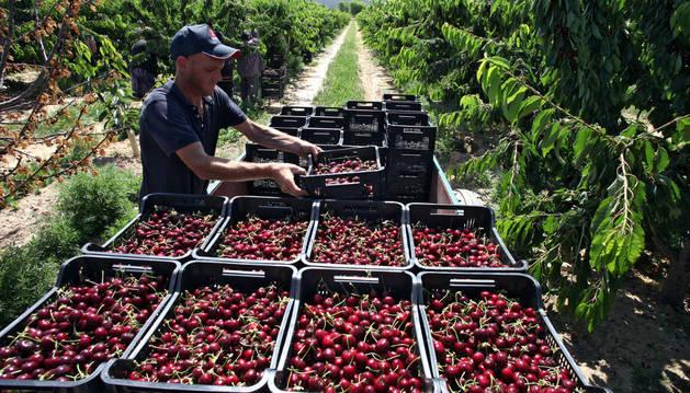 Un trabajador coloca barquillas de cerezas en unos campos de Pérez Ortún de Milagro.