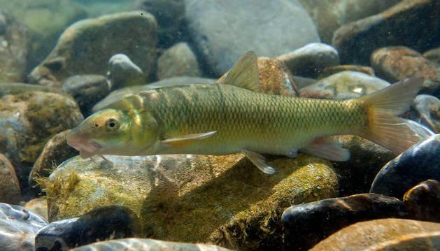 Se retirarán las especies invasores del estanque de Vistabella y el lago del Sadar