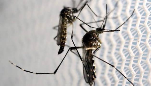 Mosquito Aedes aegypti, portador del virus zika.