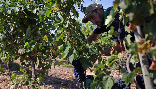 Asomado entre la espesura de la cepa, un trabajador se dispone a retirar un racimo de uva en un viñedo de Murchante.