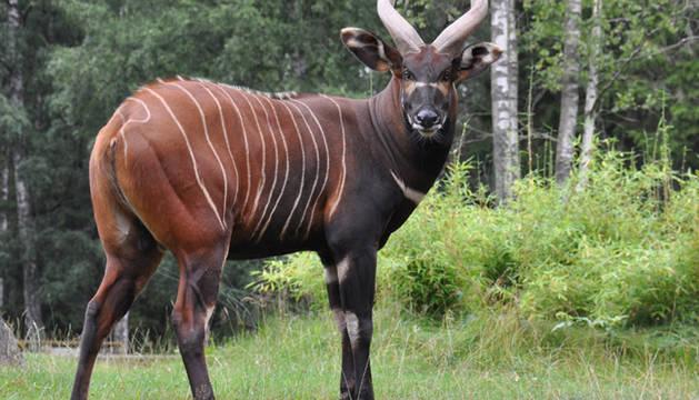 Nace un bongo oriental en Bioparc Valencia, un antílope en peligro de extinción
