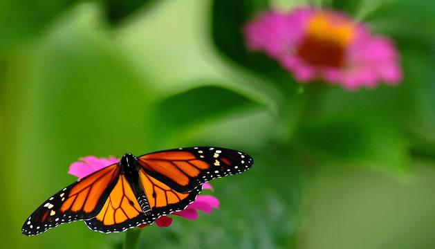 Una mariposa reposa sobre una flor en el Zoológico Nacional de Managua.