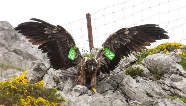 Un ejemplar de estas aves rapaces carroñeras que están volviendo poco a poco de manera voluntaria a los Picos de Europa.