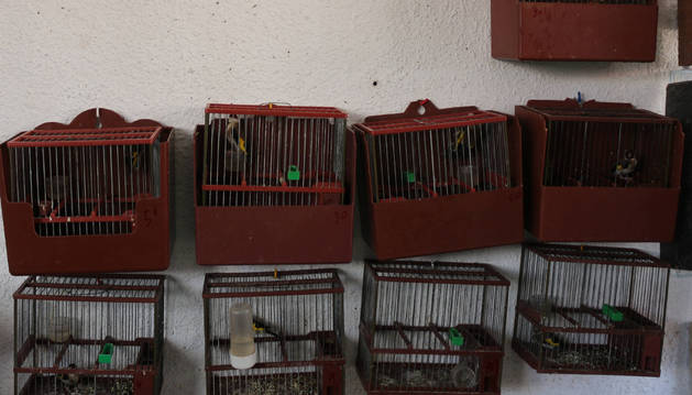 La Guardia Civil encontró 12  ejemplares de jilguero en jaulas durante el registro de la vivienda.