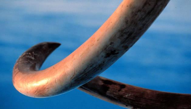 Colmillos de un mamut.