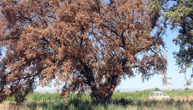 Se seca una de las 3 encinas de Corella declaradas monumento natural